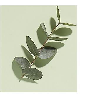 Eucalyptus bio